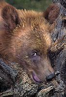 609689011 a wildlife rescue brown bear ursus arctos relaxes in his enclosureat a wildlife rescue facility - wildlife waystation - yosemite
