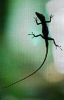 An anole silhouette, Daytona Beach, FL . (Photo by Brian Cleary / www.bcpix.com)