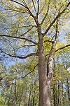 Water Oak Tree, Quercus nigra, int the Azalea Overlook Garden at Callaway Gardens in Pine Mountain, Georgia. Callaway Gardens, which is especially famous for its azaleas, boasts 13,000 acres of gardens and Georgia countryside, plus a conservation nature preserve, extensive education programs, and a very impressive resort as well.