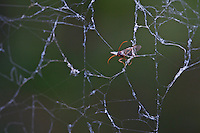 Flying insect stuck in a web of communal spiders