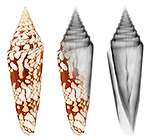 X-ray blend study of a glory of India cone shell (Conus milneedwardsi, on white) by Jim Wehtje, specialist in x-ray art and design images.