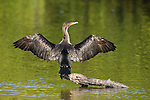 Ding Darling National Wildlife Refuge, Sanibel Island, Florida; a Double-crested Cormorant (Phalacrocorax auritus) bird dries its wings while standing on an exposed tree limb in the shallow water © Matthew Meier Photography, matthewmeierphoto.com All Rights Reserved