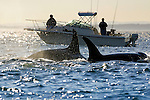 Pod of Killer Whales (Orcinus orca) pass by a boat near Victoria, British Columbia, Canada.