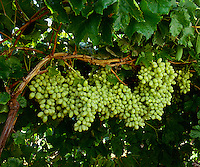 Agriculture - Mature, harvest ready bunches of Thompson Seedless table grapes on the vine / Kern County, California, USA