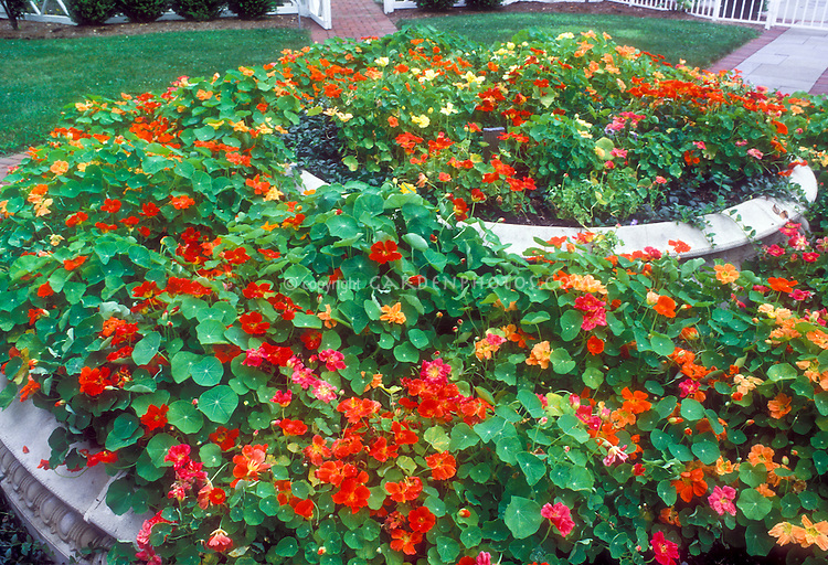 Masses of annual Nasturtium in tiers annual mixed flowers Tropaeolum in raised bed, in former water fountain, lawn grass, fence, paths in backyard