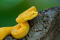 489180024 a captive golden yellow with black flecks eyelash viper bothriechis schlegelii sits coiled on a tree limb species is native to south and central america