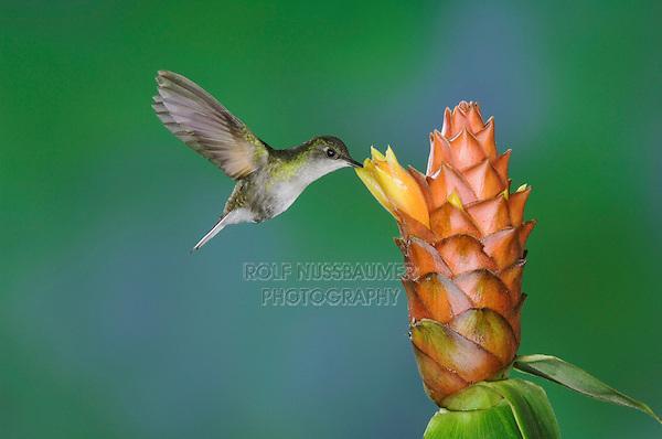 Black-bellied Hummingbird, Eupherusa nigriventris, female in flight feeding on Spiral Ginger (Costus Pulverulentus), Central Valley, Costa Rica, Central America