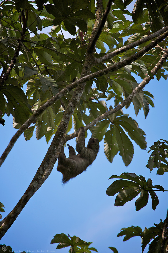 Brown-throated Sloth hangs from a tree in Costa Rica