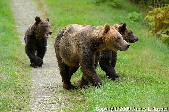 The mother grizzly bear and her two cubs walking toward the river to catch salmon to eat