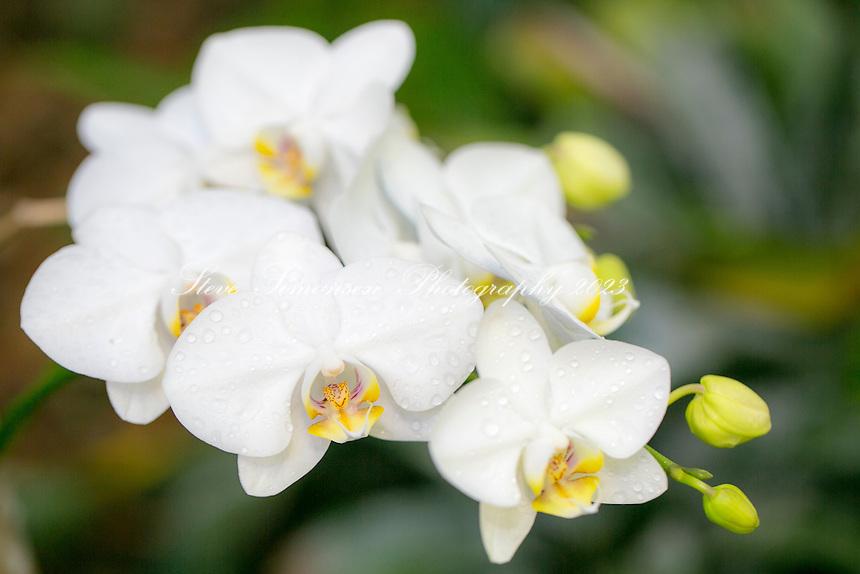 Orchids<br /> Phalaenopsis<br /> Virgin Islands