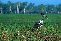 The Black-necked Stork (Ephippiorhynchus asiaticus) is a tall long-necked wading bird in the stork family. It is a resident species across South and Southeast Asia with a disjunct population in Australia. It lives in wetland habitats to forage for a wide range of animal prey. Adult birds of both sexes have a heavy bill and are patterned in white and glossy blacks, but the sexes differ in the color of the iris. In Australia, it is sometimes called a Jabiru although that name refers to a stork species found in the Americas. It is one of the few storks that is strongly territorial when feeding.
