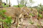 Three young lions patrol in the rain at Chobe National Park, Botswana.