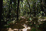 Track through the forest.Laura silva trees in the forest, La Gomera, Canary Islands, Spain