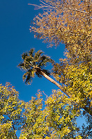 fall color tree tops against clear blue sky