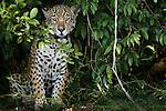 Jaguar, Brazil