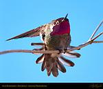 Anna's Hummingbird Male Display, Sepulveda Wildlife Refuge, Southern California