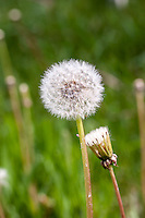 Dandelion flowers gone to seed, also known as Dandleion 'Clocks'. (Taraxacum officinale)
