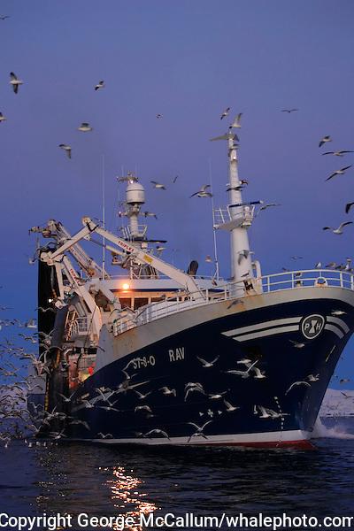 Fishing trawler hauling in net full of Herring Clupea harengus at dawn, gulls feeding on scraps Tysfjord, Arctic Norway, North East Atlantic