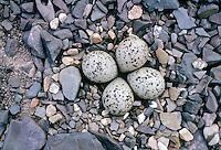 Sandregenpfeifer, Gelege, Nest, Bodennest mit Eiern, Eier, Ei, Sand-Regenpfeifer, Regenpfeifer, Charadrius hiaticula, ringed plover