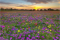 This field of bluebonnets and colorful Texas wildflowers comes from New Berlin, a well known stop for wildflower enthusiasts. In 2014, the field did not disappoint. This image looks across the field at sunrise and is just a glimpse of the purples, yellows, reds, and blues that filled the landscape.