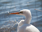 A close-up profile of a Great Egret's head as he rests on the shoreline of Lake Nokomis