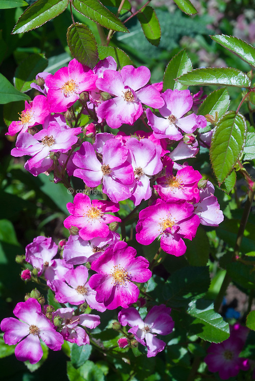 Rosa Oso Happy Smoothie, pink roses