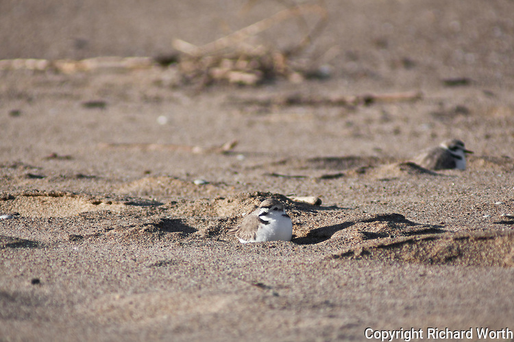Two Western snowy plovers on the beach at Pigeon Point Lightstation State Historic Park.  The Pacific Coast population of the western snowy plover is federally listed under the Endangered Species Act of 1973 as threatened. The western snowy plover is a Bird Species of Special Concern in California.