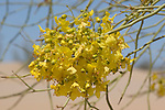 Flowers of blue palo verde, Cercidium floridum, Algodones Dunes, Imperial County, California