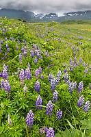 Vibrant field of lupine wildflowers along the coast of Katmai National Park, Alaska Peninsula. Aleutian mountain range in the distance.