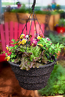 Edible basket - hanging basket with Vulcan leaf lettuce, Dark Green Italian parsley, and Ultima Radiance Red Pansy