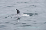 San Diego, California; a single Risso's dolphin (Grampus griseus) belongs to a small pod traveling across the surface of the Pacific Ocean