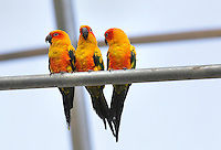 Sun parakeets (Aratinga Solstitialis), an endangered species of South American parrot, in the Grand Serre or Great Glasshouse in the Zone Guyane of the new Parc Zoologique de Paris or Zoo de Vincennes, (Zoological Gardens of Paris or Vincennes Zoo), which reopened April 2014, part of the Musee National d'Histoire Naturelle (National Museum of Natural History), 12th arrondissement, Paris, France. Picture by Manuel Cohen