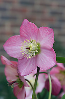 Helleborus 'Walberton's Rosemary' aka 'Walhero'