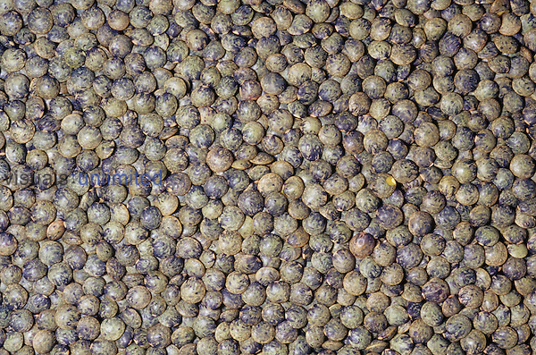 French or European Lentils (Lens culinaris).