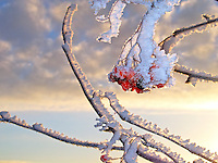 Close-Up Photo of Frozen Rowan Berries  and Branch in Winter