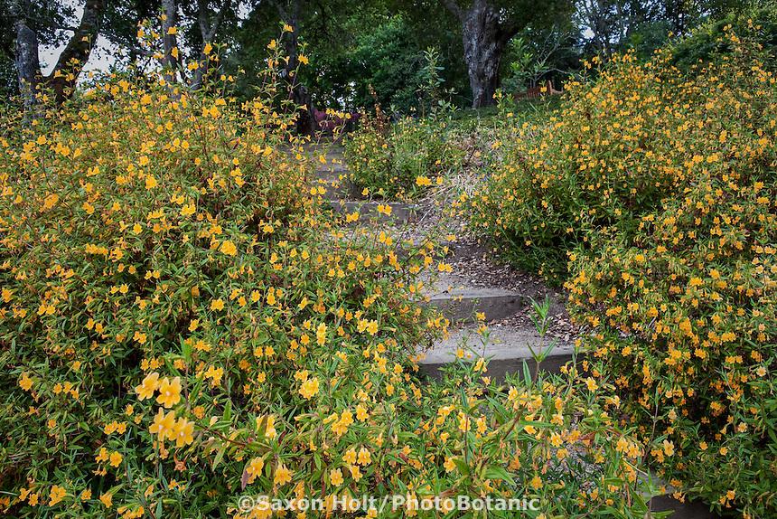 California native plant, yellow perennial wildflower, Diplacus aurantiacus Sticky Monkey Flower by steps in hillside garden, Robyn Sherrill design