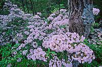 Mountain laurel blossoms, Pine Barrens, New Jersey