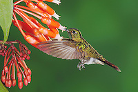Tyrian Metaltail (Metallura tyrianthina), adult feeding on flower, Papallacta, Ecuador, Andes, South America