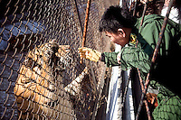 A zookeeper plays with a tiger after feeding time at the Siberian Tiger Park in Haerbin, Heilongjiang Province, China. The Siberian Tiger Park is described as a preserve to protect Siberian tigers from extinction through captive breeding.  Visitors to the park can purchase live chickens and other meat to throw to the tigers.  The Siberian tiger is also known as the Manchurian tiger..