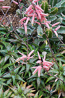 Aloe jucunda in bloom, popular dwarf cactus like houseplant, in pink flowers, miniature spotted plant