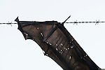 A spectacled flying fox (Pteropus conspicillatus) died a horrible death by getting trapped on a barbed wire fence.
