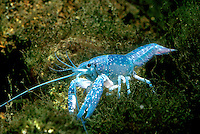 Blue crawfish, a rare genetic variation (decapoda cambarus),  New Jersey