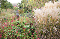 Meadow garden in autumn with flowering Miscanthus sinensis 'Graziella' grass and Persicaria  (knotweed) at  Northwind Perennial farm, Wisconsin
