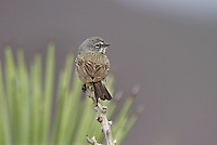 578830004 a wild sage sparrow amphispiza belli nevadensis perched in the low desert mountain chapparal of kern county california