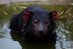 Tango, a captive Tasmanian Devil baths in a water pool in an enclosure at Taroona, outside Hobart, part of a government insurance programme against the extinction of the species in the wild by Devil Facial Tumour Disease, a contagious cancer that causes the animals to starve to death... The cancer, one of just a few known to be contagious, is only becoming understood by scientists, but having spread rapidly through the population, with the devil listed as endangered by the IUCN. In December 2009, it was announced that the disease may be related a peripheral nerve cell, called the Schwann cell, which has led some hopes for preserving the devil, at least in terms of quarantine insurance populations.