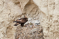 Golden eagle at nest in Northwest Wyoming