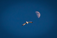 A single gull in flight with the first quarter moon overhead.