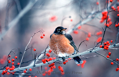 Robin, Turdus Migratus, in winter perched on the branch of a Hawthorne tree covered with red berries, winter