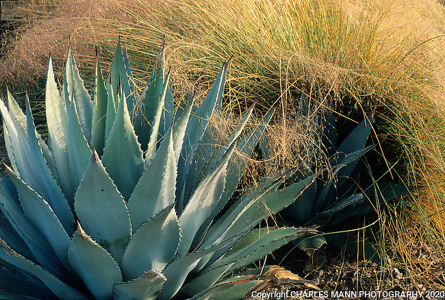 Agave parryi and a tawny Muhlenbergia capillaris make a pleasing contrast in a design by Carrie Nimmer in her Phoenix, Arizona, garden