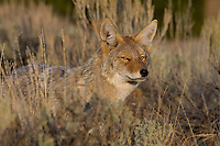 A coyote looks through brush for prey.